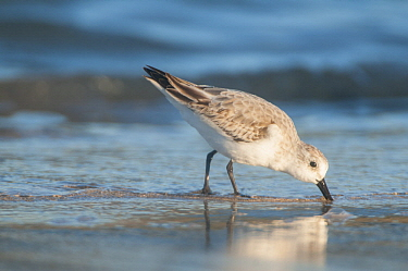Sanderling (Calidris alba) foraging, Galapagos Islands, Ecuador