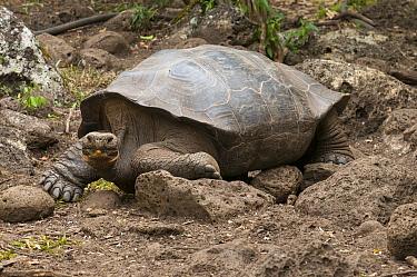 Galapagos Giant Tortoise (Geochelone nigra), Galapagos Islands, Ecuador