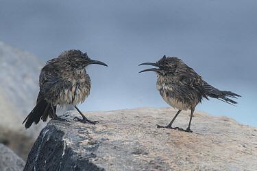 Galapagos Mockingbird (Nesomimus parvulus) pair facing off, Galapagos Islands, Ecuador