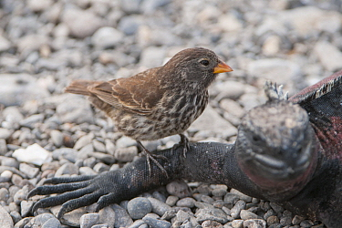 Sharp-beaked Ground-Finch (Geospiza difficilis) on Marine Iguana (Amblyrhynchus cristatus) from which it may take pieces of flesh, Galapagos Islands, Ecuador