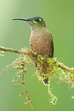 Fawn-breasted Brilliant (Heliodoxa rubinoides) hummingbird, Tandayapa Valley, Ecuador