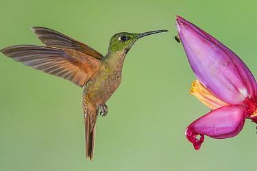 Fawn-breasted Brilliant (Heliodoxa rubinoides) hummingbird feeding on flower nectar, Tandayapa Valley, Ecuador