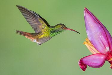 Rufous-tailed Hummingbird (Amazilia tzacatl) feeding on flower nectar, Tandayapa Valley, Ecuador
