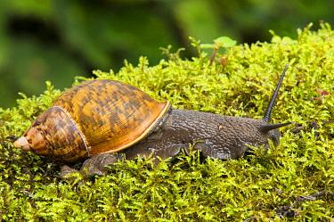 Land Snail (Caracolus sp), Tandayapa Valley, Ecuador