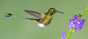 Booted Racket-tail (Ocreatus underwoodii) hummingbird feeding on flower nectar, Tandayapa Valley, Ecuador
