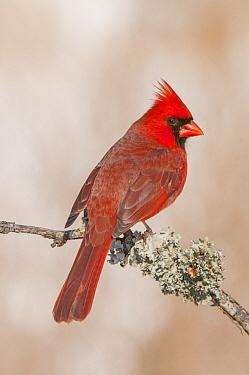 Northern Cardinal (Cardinalis cardinalis) male, North America