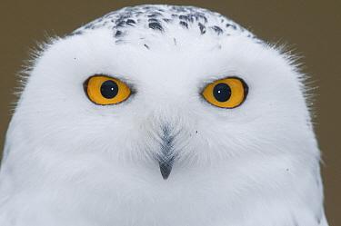 Snowy Owl (Nyctea scandiaca), Howell Nature Center, Michigan