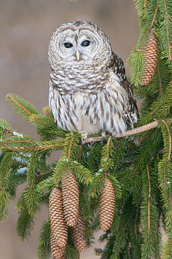 Barred Owl (Strix varia), Howell Nature Center, Michigan