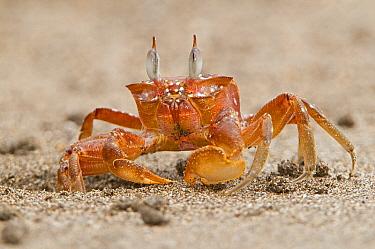 Painted Ghost Crab (Ocypode gaudichaudii), Costa Rica