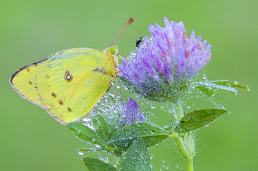 Clouded Sulphur Butterfly (Colias philodice), North America
