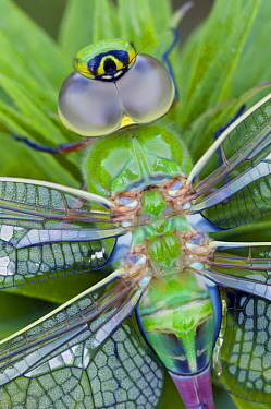 Green Darner (Anax junius) dragonfly, North America