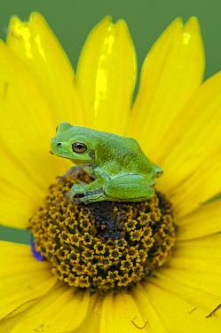 Gray Tree Frog (Hyla versicolor) on flower, Howell Nature Center, Michigan