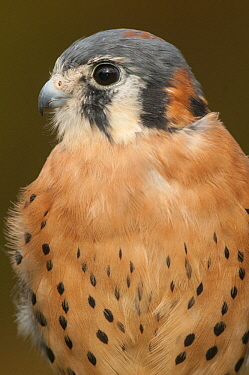 American Kestrel (Falco sparverius) male, Howell Nature Center, Michigan