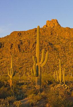 Saguaro (Carnegiea gigantea) cactii in desert, Tucson Mountain Park, Tucson, Arizona