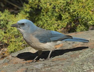 Mexican Jay (Aphelocoma wollweberi), Chiricahua National Monument, Arizona