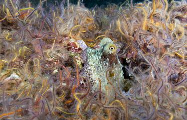 Octopus (Octopus sp) and Brittlestars (Ophiothrix sp), Santa Cruz Island, Channel Islands, California
