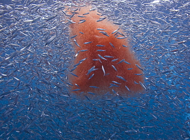 Pacific Sardine (Sardinops sagax) school feeding on Krill (Thysanoessa spinifera), Los Coronados Islands, Baja California, Mexico