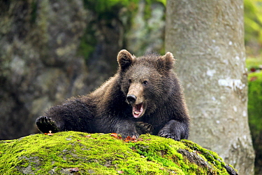 Brown Bear (Ursus arctos) cub yawning, Bavarian Forest National Park, Germany