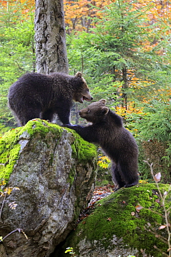 Brown Bear (Ursus arctos) cubs playing, Bavarian Forest National Park, Germany