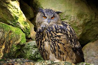 Eurasian Eagle-Owl (Bubo bubo), Bavarian Forest National Park, Germany