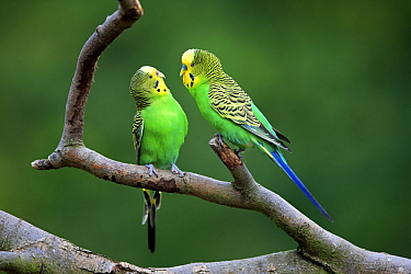 Budgerigar (Melopsittacus undulatus) pair, native to Australia