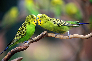 Budgerigar (Melopsittacus undulatus) pair billing, native to Australia