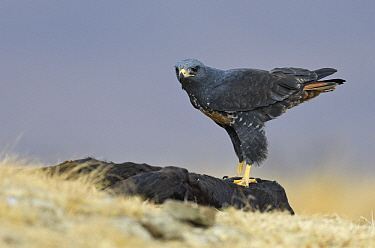 Augur Buzzard (Buteo rufofuscus) at feeding station, Giant's Castle National Park, South Africa