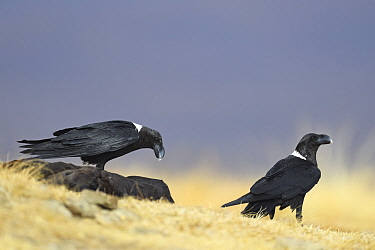 White-necked Raven (Corvus albicollis) pair at feeding station, Giant's Castle National Park, South Africa
