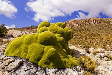 Yareta (Azorella compacta) cushion plant, Abra Granada, Andes, northwestern Argentina