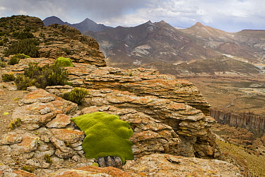 Yareta (Azorella compacta) cushion plants growing in rocks, Abra Granada, Andes, northwestern Argentina