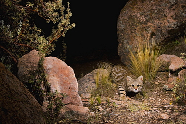 Pampas Cat (Leopardus colocolo) in altiplano at night, Ciudad de Piedra, Andes, western Bolivia