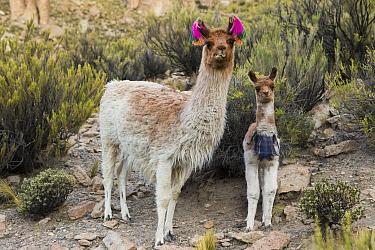 Llama (Lama glama) mother and cria, Abra Granada, Andes, northwestern Argentina