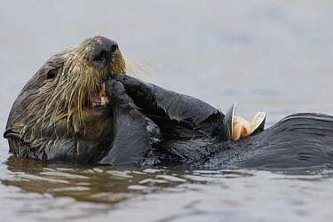 Sea Otter (Enhydra lutris) female feeding on mussel prey, Elkhorn Slough, Monterey Bay, California