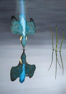 Common Kingfisher (Alcedo atthis) hunting, Salamanca, Spain
