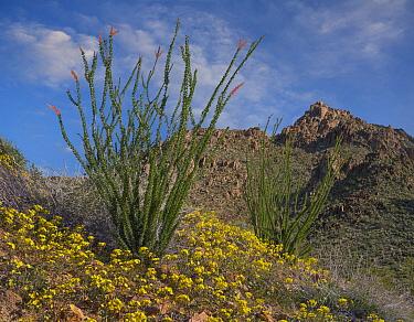 California Desert Dandelion (Malacothrix californica) flowers and Ocotillo (Fouquieria splendens) in spring, Joshua Tree National Park, California