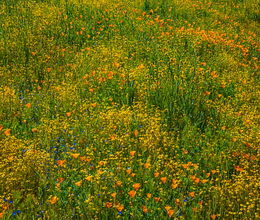 California Poppy (Eschscholzia californica) and Desert Yellow Fleabane (Erigeron linearis) flowers in spring bloom, Diamond Valley Lake, California