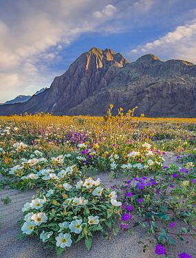 Desert Sand Verbena (Abronia villosa), Desert Sunflower (Geraea canescens), and Desert Lily (Hesperocallis undulata) flowers in spring bloom, Anza-Borrego Desert State Park, California