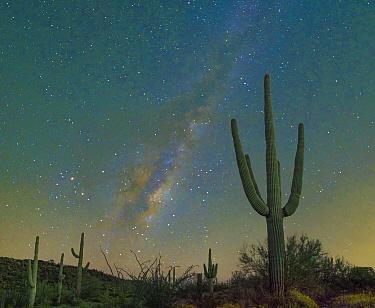 Saguaro (Carnegiea gigantea) cacti at night with milky way, Organ Pipe Cactus National Monument, Arizona