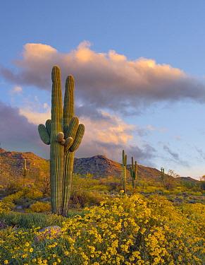 Saguaro (Carnegiea gigantea) cacti and Brittlebush (Encelia californica) flowers in spring, White Tank Mountains, Arizona