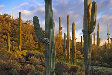 Saguaro (Carnegiea gigantea) cacti, Joshua Tree National Park, California