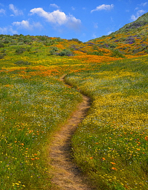 California Poppy (Eschscholzia californica), Desert Bluebell (Phacelia campanularia) and other wildflowers in spring bloom, Diamond Valley Lake, California