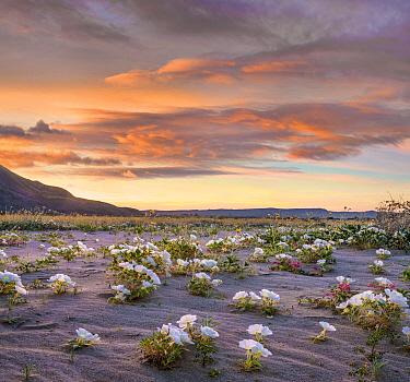 Desert Lily (Hesperocallis undulata) flowers in spring bloom, Anza-Borrego Desert State Park, California