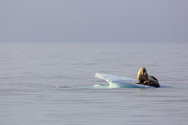 Walrus (Odobenus rosmarus) mother and calf on ice floe, Svalbard, Norway