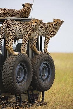 Cheetah (Acinonyx jubatus) mother and cubs on vehicle with tourists, Masai Mara, Kenya