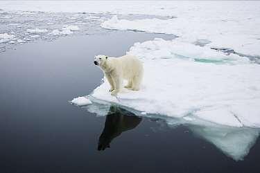 Polar Bear (Ursus maritimus) on ice, Spitsbergen, Svalbard, Norway