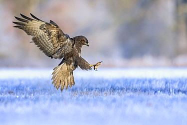 Common Buzzard (Buteo buteo) landing, Saxony-Anhalt, Germany