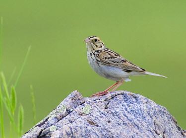 Baird's Sparrow (Ammodramus bairdii), Saskatchewan, Canada