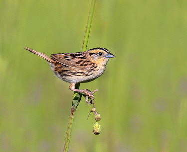 Le Conte's Sparrow (Ammodramus leconteii), Saskatchewan, Canada
