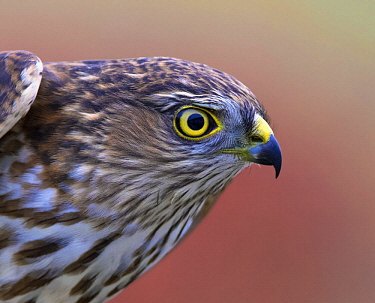 Sharp-shinned Hawk (Accipiter striatus) juvenile, Saskatchewan, Canada