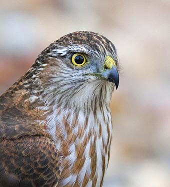 Sharp-shinned Hawk (Accipiter striatus) juvenile, Saskatchewan, Canada